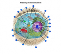 Anatomy of the animal cell | Recurso educativo 60625