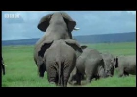 Elephant mating, fighting & pregnancy - BBC Animals | Recurso educativo 92797