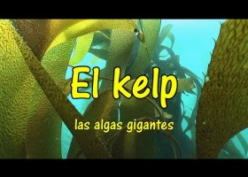 Los bosques de algas gigantes, el kelp. What is a kelp forest? | Recurso educativo 772550